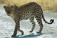 """Namibie Etosha Leopard 01edit"" by Patrick Giraud (edited to fix white balance) - Own work. Licensed under CC BY 2.5 via Commons - https://commons.wikimedia.org/wiki/File:Namibie_Etosha_Leopard_01edit.jpg#/media/File:Namibie_Etosha_Leopard_01edit.jpg"
