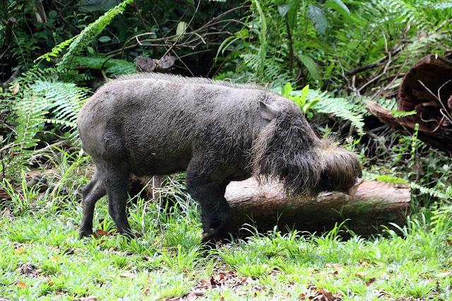 Babi Hutan di Bako National Park