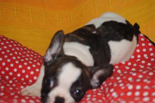 Comprar un Bulldog Francés