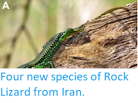 http://sciencythoughts.blogspot.co.uk/2014/07/four-new-species-of-rock-lizard-from.html