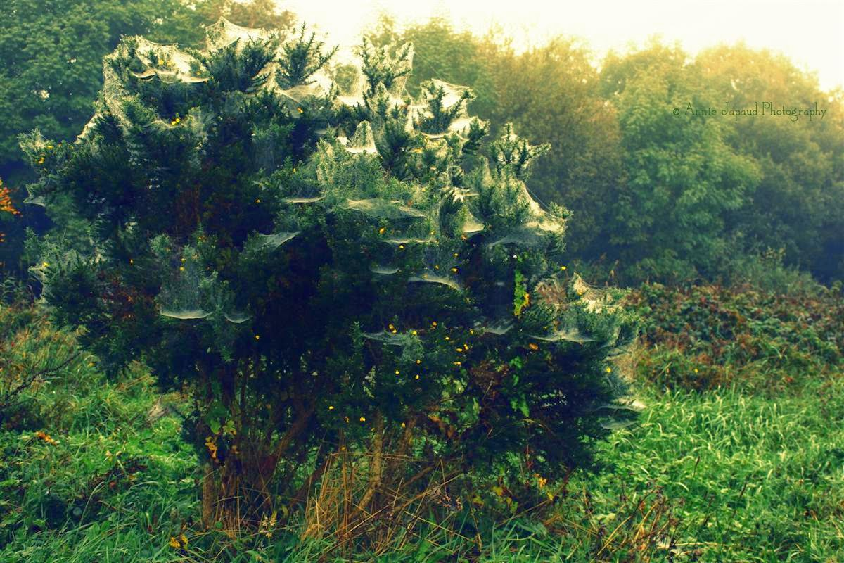bush covered in cobwebs