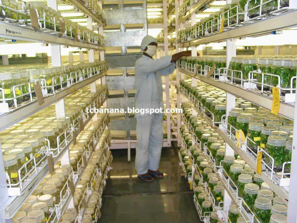 How To Select Good Quality Tissue Culture Plants And The