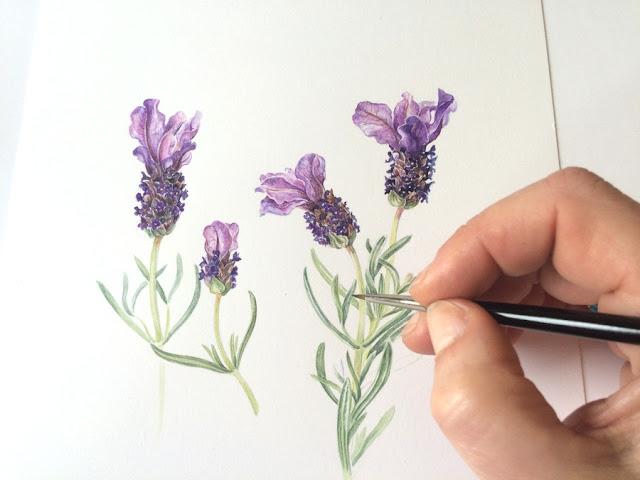 Artist's hand painting Spanish lavender in watercolour using a sable brush on Botanical Ultra Smooth Paper