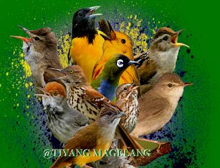 kelompok burung kicau terbaik di dunia