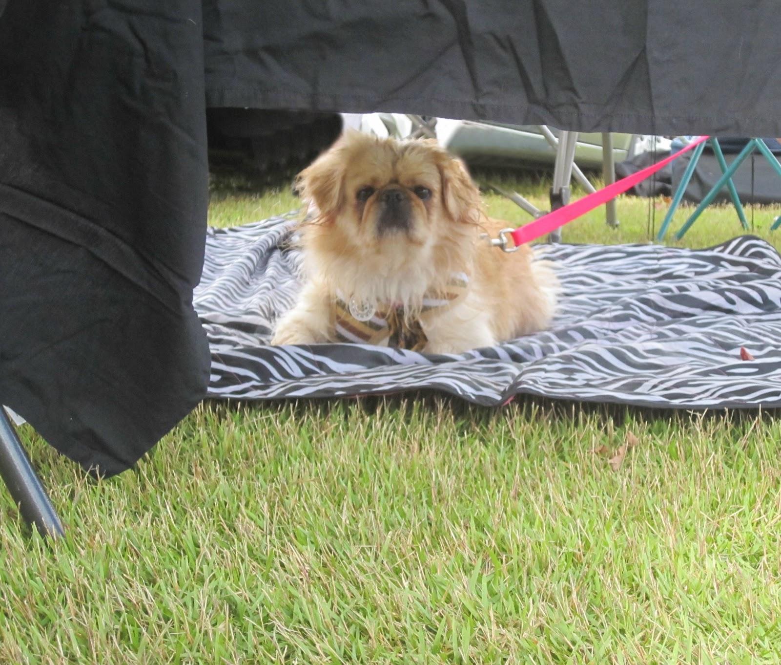 Gooberella Cause For Paws Palm Coast Dog Event