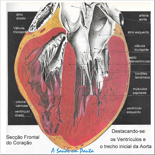 Secção Frontal do Coração - Destacando-se os ventrículos e o trecho inicial da aorta