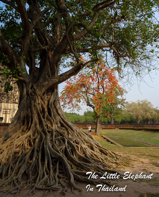 A tree in Sukhothai, Thailand