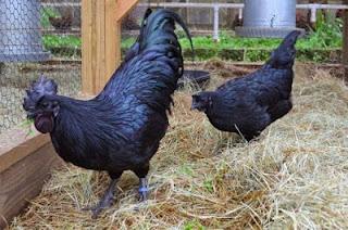 Ayam Cemani: Ayam Serba Hitam