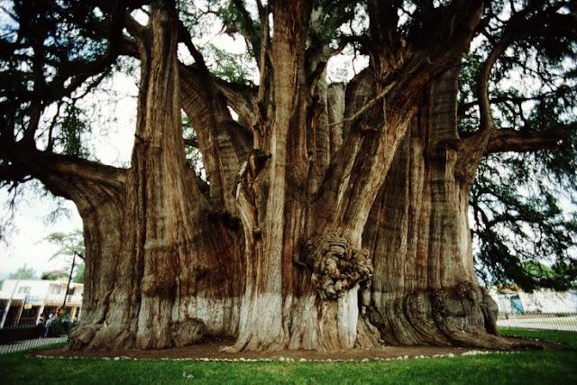 Esta árvore tem milhares de anos e é encontrada no México
