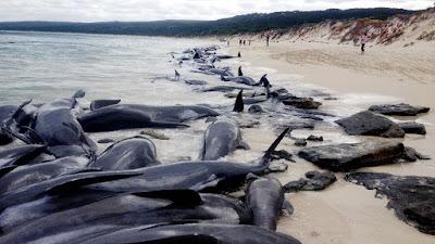 Tại  sao cá voi tự sát hàng loạt