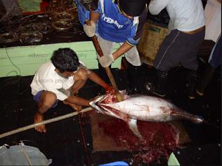 Penanganan Ikan Di Atas Kapal