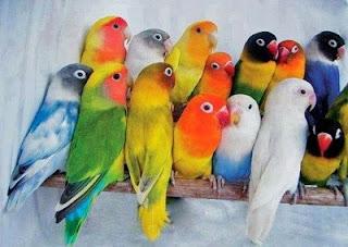 Daftar Harga Resmi Burung Lovebird Terbaru Mei 2017, Daftar Harga Burung Lovebird Lengkap Terbaru 2017, Harga Burung Lovebird Terbaru Semua Jenis Mei 2017
