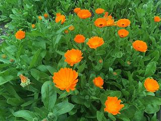 galbenele planta medicinala
