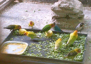 makanan-tambahan-untuk-ternak-lovebird,-pakan-lovebird-agar-cepat-birahi,-pakan-lovebird-agar-ngekek-panjang,-pakan-lovebird-bertelur,-racikan-pakan-lovebird-agar-ngekek-panjang,-