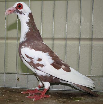 pigeons fall
