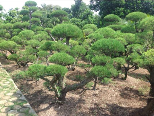 jual bonsai di ciputat