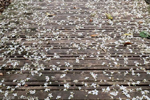 彰化芬園德興社區桐花生態園觀景台賞桐花,鳳梨古道賞桐花毯