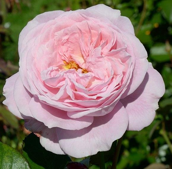 Rosengrafin Marie Henriette сорт розы Кордес фото