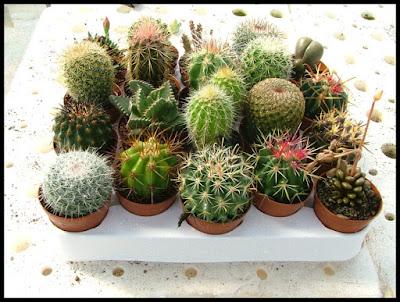 Fitosofia cactus y plantas suculentas for Especies de cactus
