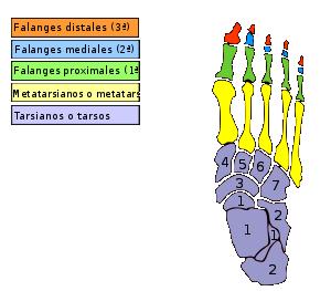 Pie del tobillo y anatomia pdf