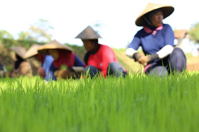 Lebih Mudah dan Praktis, Begini Para Petani Modern Dalam Mengolah Sawahnya