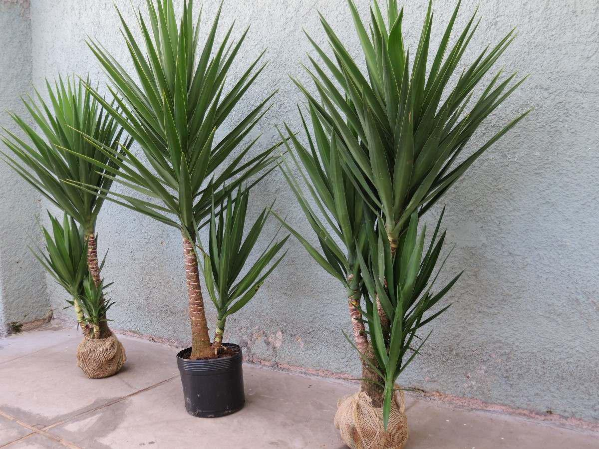 Construindo minha casa clean 6 tipos de plantas duras de - Yucca elephantipes cuidados ...