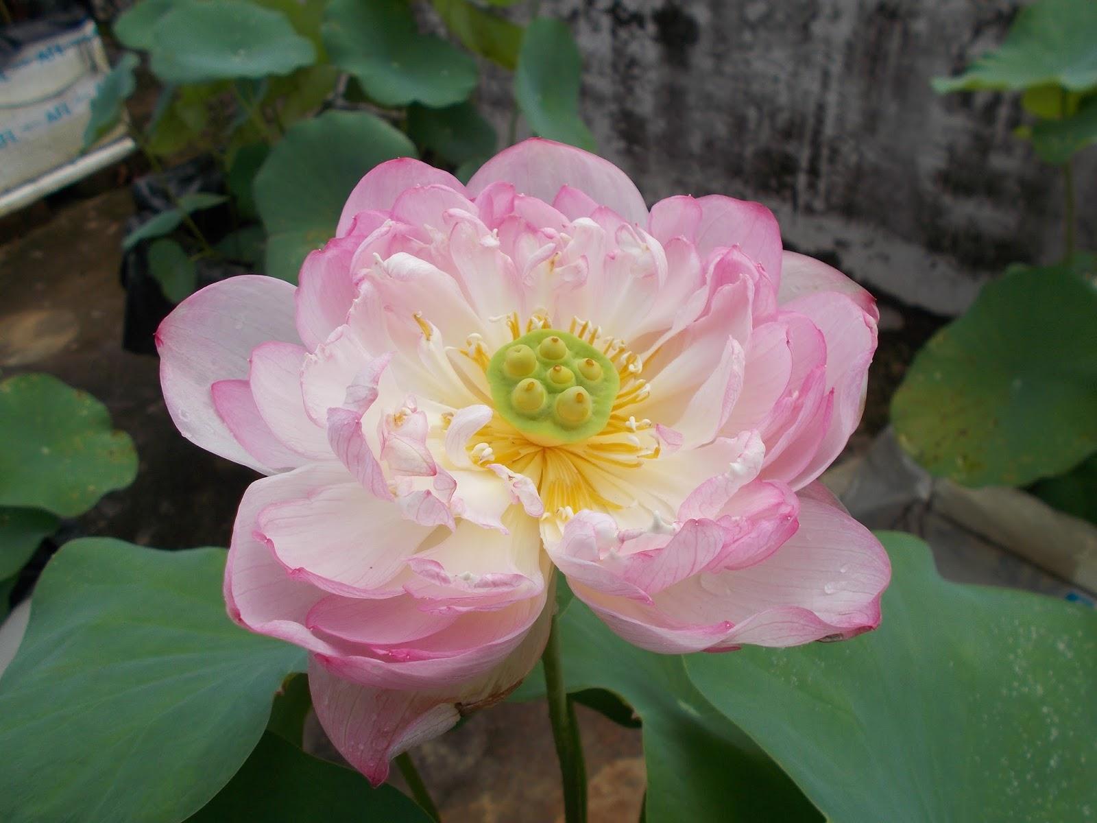 The Lotus Planet 2017