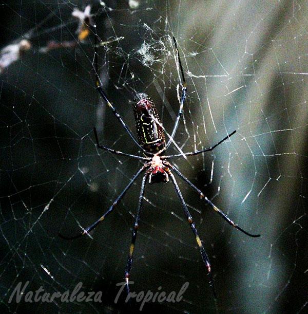 Vista ventral de Nephila clavipes, araña de la seda de oro