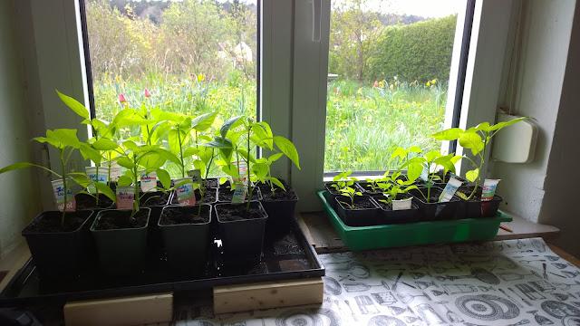 Paprika-, Wildchilli und Ananaskirschenjungpflanzen (c) by Joachim Wenk