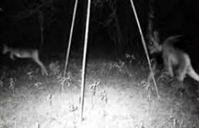 Supuesto demonio persigue a un ciervo