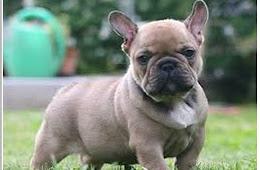 French Bulldog Info