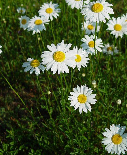 Cúc Trừ Sâu - Chrysanthemum cinerariaefolium - Nguyên liệu làm thuốc Có Chất Độc