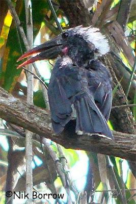 Toco negro Horizocerus hartlaubi