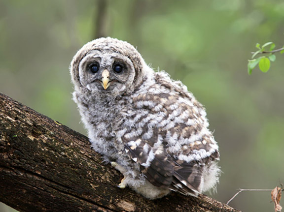 Bard Owl Chick