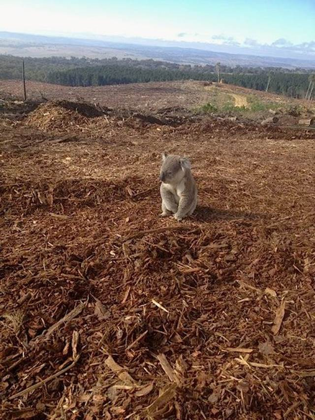 beruang koala sedih hilang tempat tinggal
