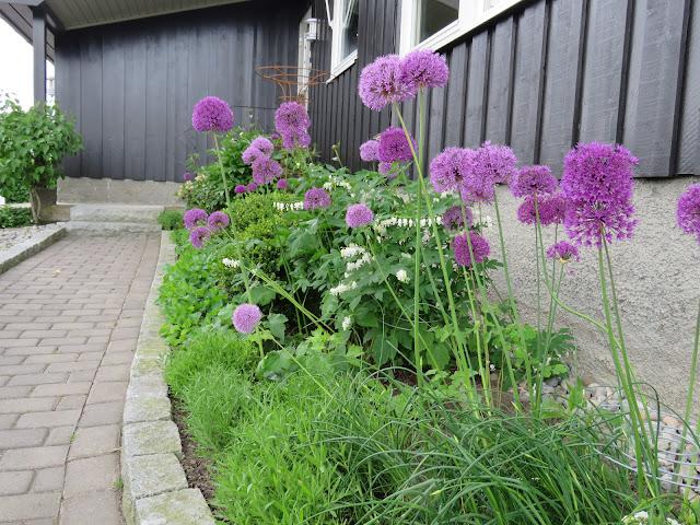 Foto 2. Frøsåing av Allium. Furulunden
