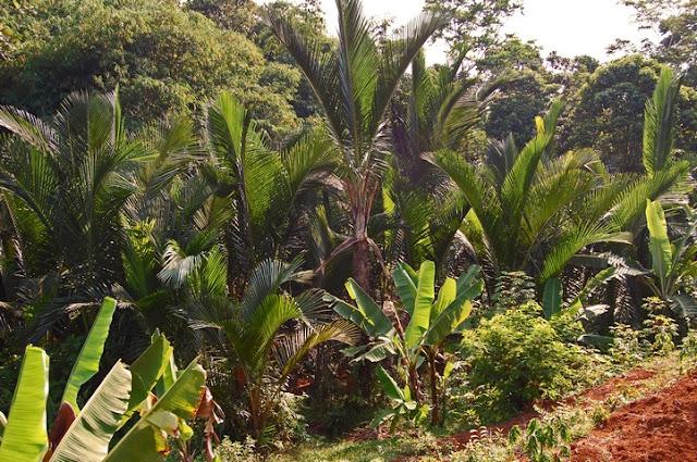 Asal Usul Pohon Sagu dan Palem