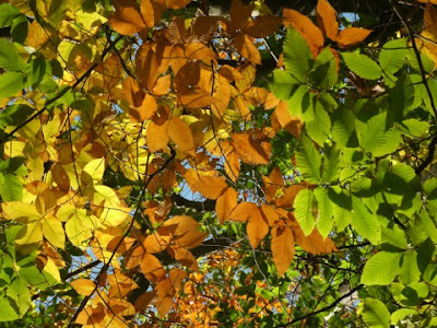 Yellow brown green beech leaves on same tree near Lake Muskoka Thanksgiving 2011 by garden muses: a Toronto gardening blog
