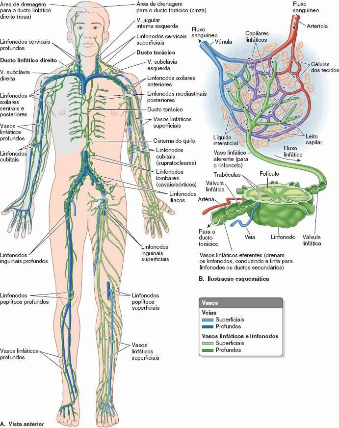 Moderno Anatomía Del Sistema Linfático Festooning - Anatomía de Las ...