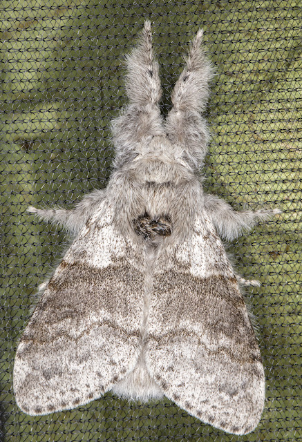 Pale Tussock, Calliteara pudibunda.  Sevenoaks Wildlife Reserve, 25 April 2017.