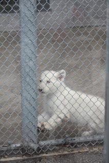 White Lion Cub.