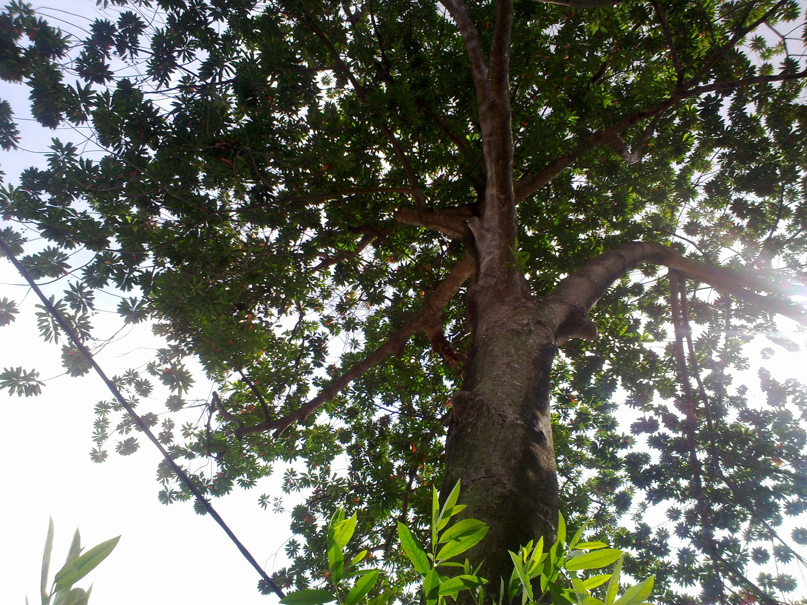 Rudraksha Tree