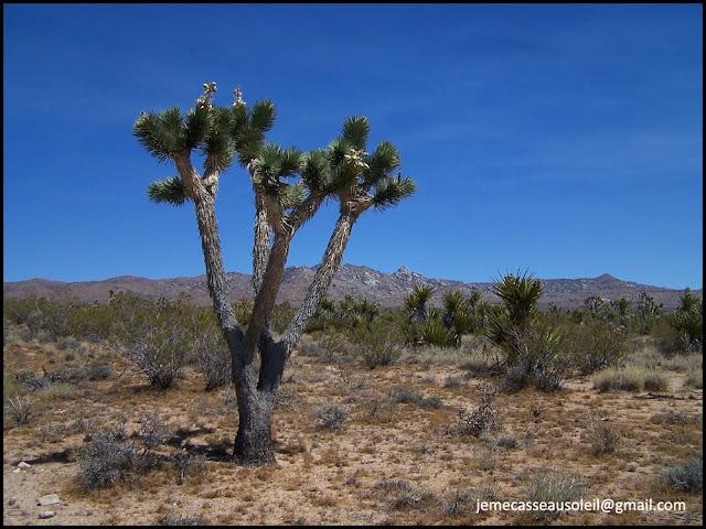 Joshua Tree dans le désert de Mojave