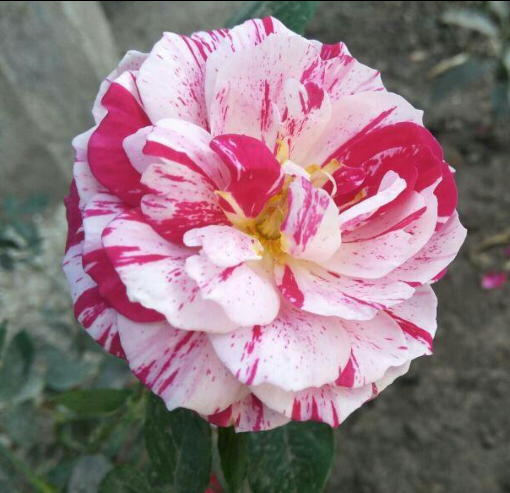Taviya Raviraj Pink And White Rose