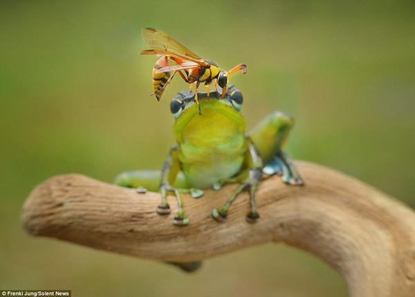 """Chú ếch tinh ranh giả vờ """"đơ như cây cơ"""" để không bị ong đốt"""