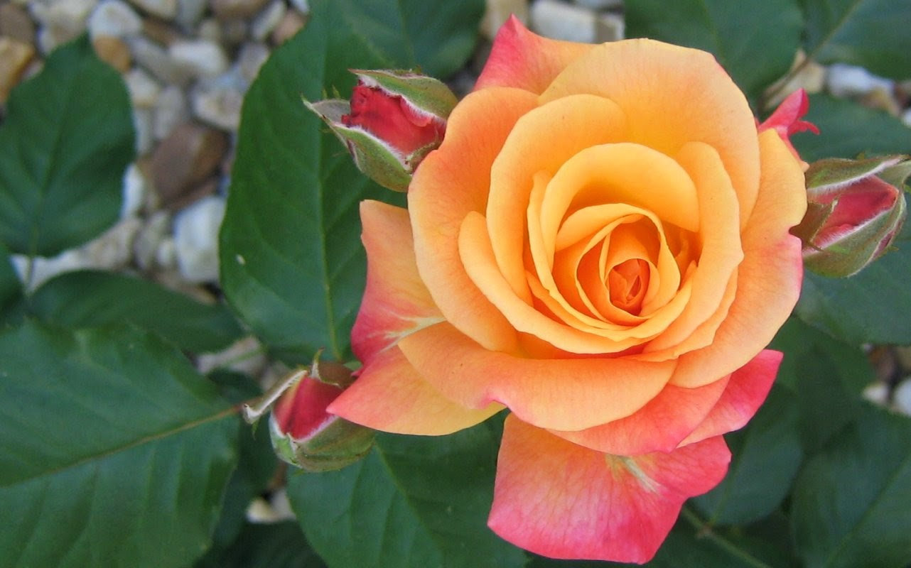 Pink Orange Rose by ShipperTrish on DeviantArt   Orange And Pink Roses