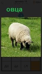 На поляне пасется овца с большим количеством шерсти и поедает траву в качестве пищи