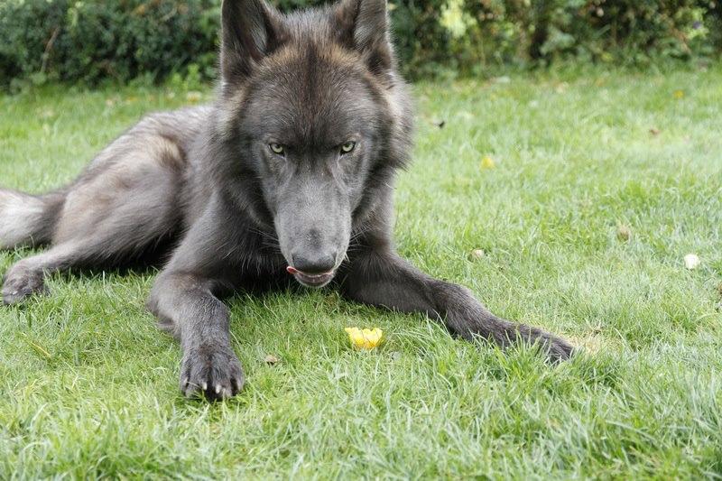 Schwarzer Wolfshund