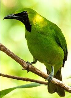Gambar Burung Cucak Ijo Kalimantan Dan Perbedaannya Paling Akurat