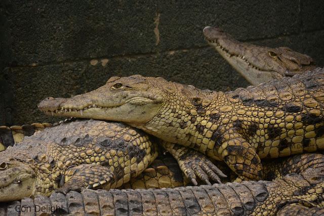 תנין בחוות התנינים בחמת גדר Alligator farm